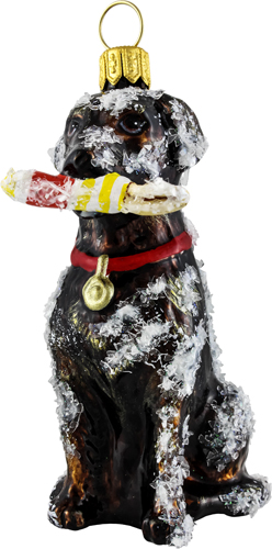 Snowy Chocolate Labrador Retriever with Bouy